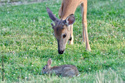 Young white-tailed deer and eastern cottontail rabbit grazing together плакат