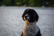 Portuguese Water Dog
