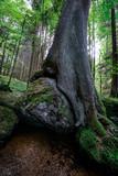Felsenfresserbaum