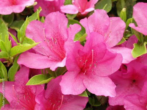 Deurstickers Roze 日本のツツジの花