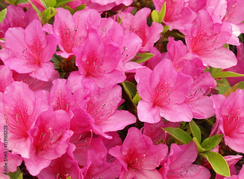 Plexiglas Roze アザレアの花