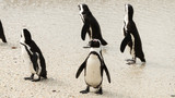 Boulders Beach in Simonstown (South Africa) with Penguins