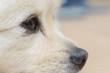 black eye of white dog, close up image