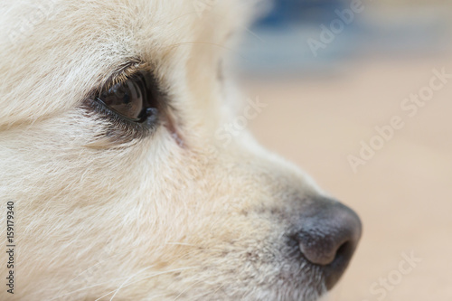 black eye of white dog, close up image Poster