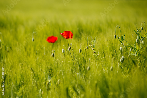 gossip Rose in a field