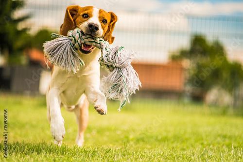 Póster Beagle run