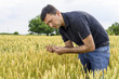 man inspecting yield in wheat field