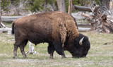 Grazing Bison: Yellowstone National Park