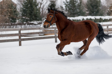 Beautiful horse runs on a ranch behind a fence in the winter