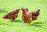 Free and happy hens - 159211546