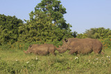 White Rhinos. Mother and calf White Rhinoceros