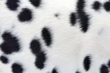 Dalmatian fur background