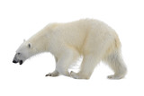 Polar bear isolated on white backgownd - 159217527