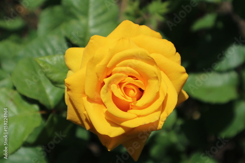 Hybrid yellow-orange rose flower on a sunny day