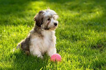 Cute havanese puppy dog sitting in the grass with his pink ball