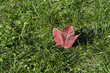 Canada flag's icon maple tree leaf is on green grass