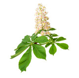 Branch of the blooming horse-chestnuts on a light background - 159258501