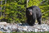 Black Bear - 159264721
