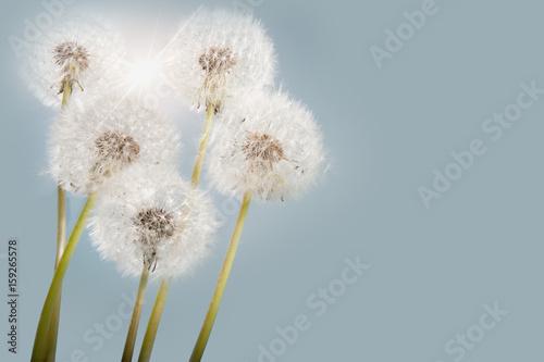 Sunny dandelions - 159265578