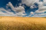 Wheat field in sunny summer day