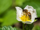 Bee on the strawberry flower