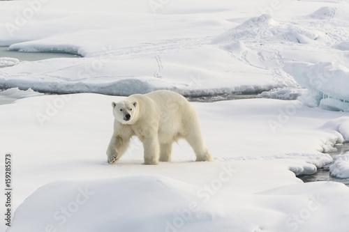 Aluminium Ijsbeer Auf der Suche nach den Eisbären