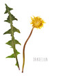 Pressed and dried dandelion flower
