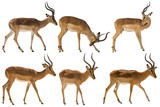 set of six blackfaced impala, isolated on white background - 159309309