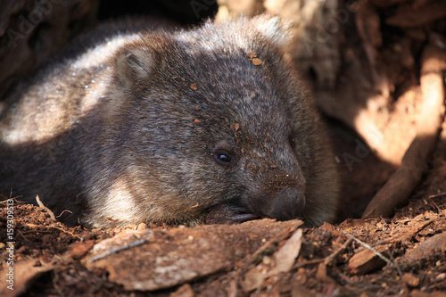 Wombat sleeping under a tree Poster