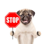 Dog holding stop sign. Isolated on white background