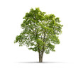 Quadro High definition Tree isolated on a white background
