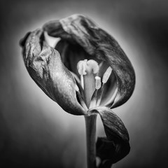 Beautiful shallow depth of field macro image of decaying wilted tulip flower at the end of Spring