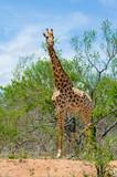 Vertical Shot of Giraffe