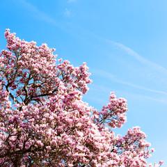 Blühende Magnolie vor blauem Himmel