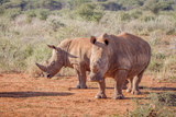 Two White rhinos standing in the sand.