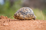 Close up of a Leopard tortoise on dirt.