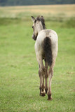 Amazing welsh part-bred foal