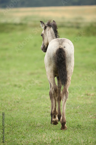 Amazing welsh part-bred foal Poster