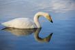 Swan Reflection on Solitude