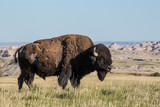 American Bison Sticking out its Tongue in Badlands South Dakota