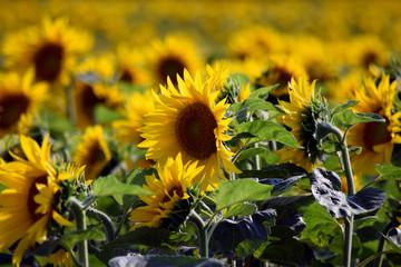 Helianthus annuus Auringonkukka Girasol Girasoli Sunflower Almindelig solsikke Sonnenblume Napraforgó 해바라기 Girasole Calom Tournesol Jáquima חמנית מצויה Hướng dương 向日葵