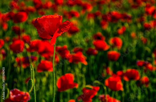 Fotobehang Rood paars poppy flowers field at sunset