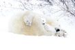 Polar bear mother (Ursus maritimus) sleeping on tundra with new born cub sheltering, Wapusk National Park, Manitoba, Canada