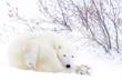 Polar bear mother (Ursus maritimus) lying down on tundra looking at camera, Wapusk National Park, Manitoba, Canada