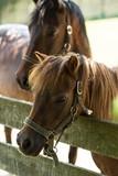 Brown Horses portrait in outdoor