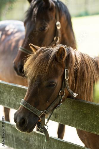 Brown Horses portrait in outdoor Poster