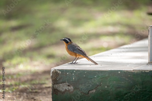 Poster White Browed Robin Chat - Cossypha heuglini