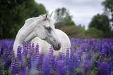 Portrait of a Palomino horse among blooming lupine flowers.  - 159444192