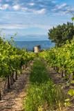 Vineyard in Provence,France