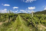 green vineyards rows